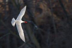 Caspian tärnafågel i flykten som söker efter fisken över ett damm med en mörk bakgrund Arkivfoton
