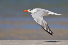 Caspian Tern Royalty Free Stock Photo