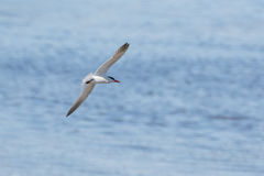 Caspian Tern bird Stock Photography