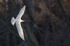 Caspian tern bird in flight looking for fish over a pond with a dark background Stock Photos