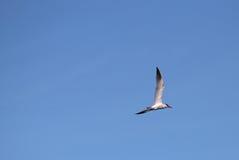 Caspian Tern On Blue Sky Stock Images