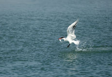 Caspian tern with a catch Stock Photo