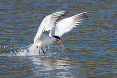 Caspian tern catches a fish from the lake and grasps it in his b. Eak.  (Hydroprogne caspia) Oregon, Emigrant Lake, Near Ashland, Taken 07/25/2014 Stock Images