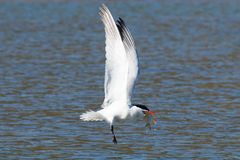 Caspian tern catches a fish from the lake and grasps it in his b Stock Photography