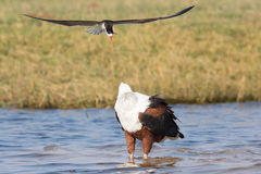 Caspian tern dive bombing a fish eagle Stock Images