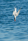 Caspian Tern. Diving for a fish stock photo