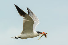 Caspian Tern with fish Royalty Free Stock Images