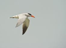 Caspian Tern in flight Stock Photos
