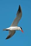 Caspian Tern In Flight. Caspian Tern flying against blue sky stock images