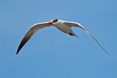 Caspian Tern In Flight Stock Photography