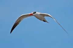 Caspian Tern In Flight. Caspian Tern flying against blue sky stock photography