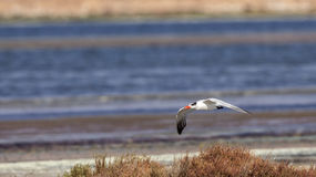 Caspian Tern in Flight Royalty Free Stock Images