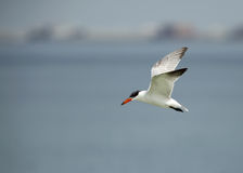 Caspian tern in flight Royalty Free Stock Image