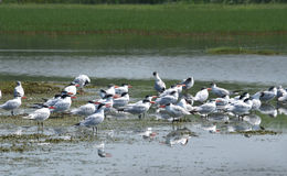 Caspian tern flock Royalty Free Stock Photos