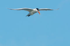 Caspian Tern Royalty Free Stock Photos