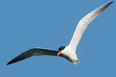 Caspian Tern. Flying across a bright blue sky Stock Photography