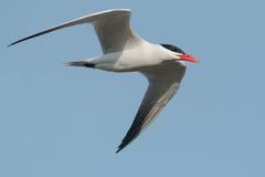 Caspian Tern Royalty Free Stock Image