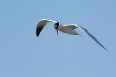 Caspian Tern. A Caspian Tern flying against a pale blue sky Royalty Free Stock Photo