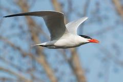 Caspian Tern Royalty Free Stock Images