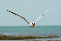 Caspian Tern Flying Head on Royalty Free Stock Photo