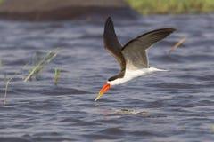 Caspian Tern flying over river Stock Images