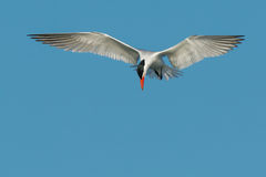 Caspian Tern. Hovering in a bright blue sky looking down for a fish stock photos