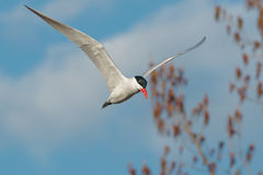 Caspian Tern Royalty Free Stock Photography