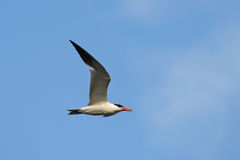 Caspian Tern (Hydroprogne caspia) Royalty Free Stock Photography