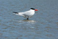 Caspian Tern - Hydroprogne caspia. Caspian Tern standing in the shallow water facing into a strong wind. Ashbridges Bay Park, Toronto, Ontario, Canada Stock Image