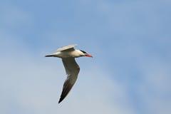Caspian Tern (Hydroprogne caspia) Stock Images