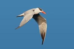 Caspian Tern (Hydroprogne caspia) stock photography