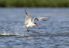 The Caspian tern Hydroprogne caspia hunting. The Caspian tern Hydroprogne caspia catch a fish stock photography