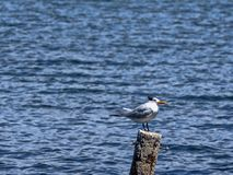 Caspian tern, Hydroprogne caspia, lurking for fish, Caribbean sea, Belize. One Caspian tern, Hydroprogne caspia, lurking for fish, Caribbean sea, Belize royalty free stock photography