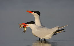 Caspian tern. On the lake Royalty Free Stock Photos