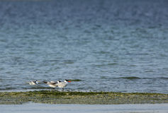 Caspian tern and lesser crested tern Royalty Free Stock Photo
