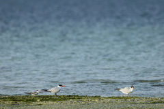 Caspian tern and lesser crested tern Stock Images