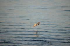 Caspian Tern Stock Photos