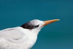 Caspian tern seabird Royalty Free Stock Photos