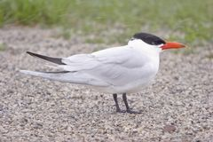 Caspian Tern In A Snow Storm royalty free stock images