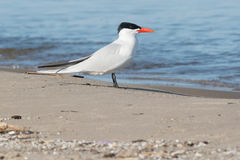 Caspian Tern Stock Photo