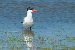 Caspian Tern. Standing in a flooded field stock photography
