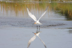 Caspian Tern (Sterna caspia) Royalty Free Stock Images
