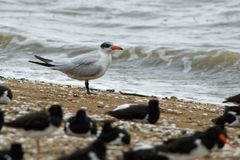 Caspian Tern - Sterna caspia Hydroprogne caspia is a species of tern, which is the world`s largest ternwith. North America, lo. Cally in Europe, Asia, Africa stock images