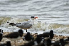 Caspian Tern - Sterna caspia Hydroprogne caspia is a species of tern, which is the world`s largest ternwith. North America, lo. Cally in Europe, Asia, Africa stock image