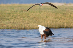 Caspian tern trying to run off a fish eagle royalty free stock photography
