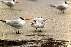 Caspian Terns Royalty Free Stock Photos