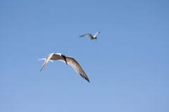 Caspian Terns Flying along the California Coast Royalty Free Stock Images