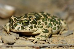 Caspian toad (Pseudepidalea variabilis) on a brown field site in Baku, Azerbaijan. Considered a subspecies of Bufo viridis by many Stock Photos