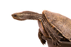 Caspian  turtle Royalty Free Stock Image