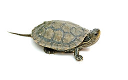 Caspian turtle Royalty Free Stock Photography